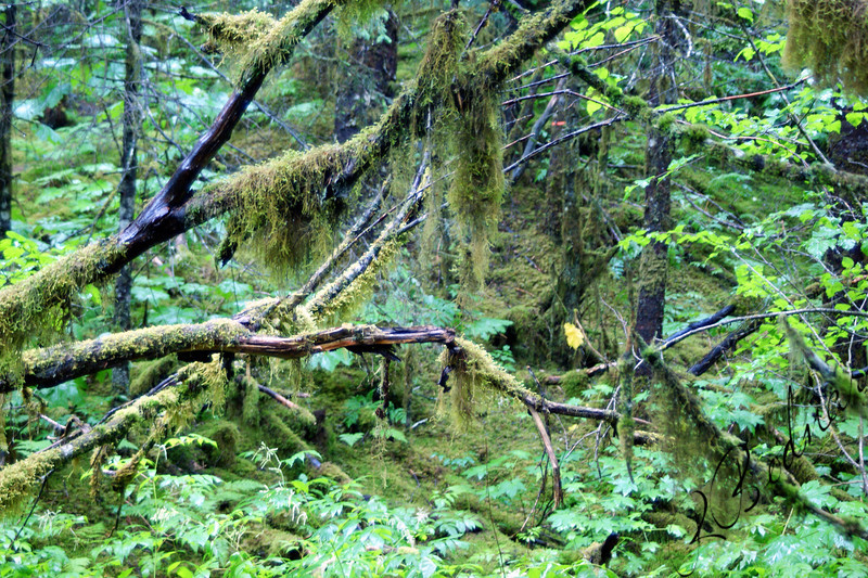 Photo By Robert Bodnar...... Alaska Rain forest, Juneau Alaska