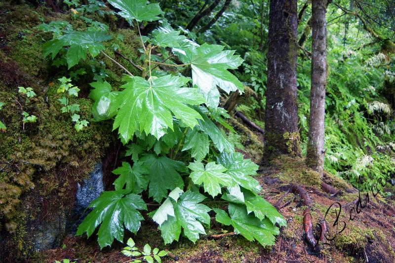 Photo By Robert Bodnar........Alaska Rain Forest, Juneau Alaska