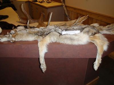 Mt. McKinley Lodge: display of pelts