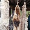 Activity: CIV - fur pelts