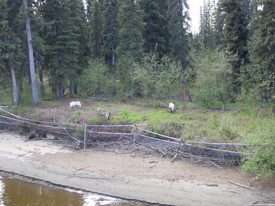 Activity: Riverboat Tour - Caribou along river