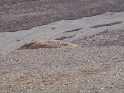 Activity: TWT ground squirrel