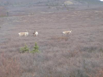 Activity: TWT caribou