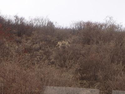 Activity: TWT wolf in brush catching bird