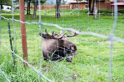 Moose resting.