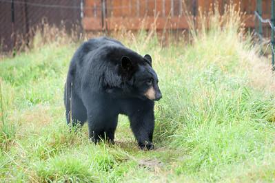 Black Bear.