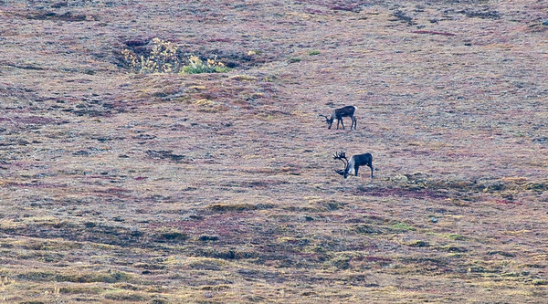Caribou - check out the size of those antlers.