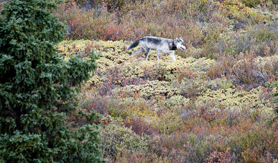 Gray wolf. Note his radio collar. About 60 wolves are tracked for research, but Denali Park policy does not interfere in any way with the natural evolution of wildlife in the park - no feeding, rescuing,  or manipulation of the populations of the species.