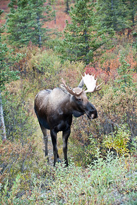 """Stop the bus!"" a young bull moose eyes us from the side of the road."