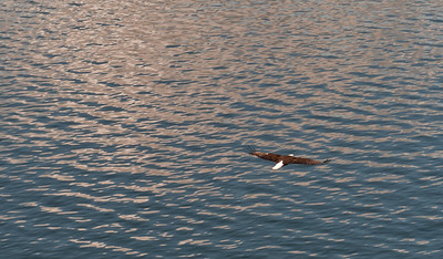 Shot from our balcony in the stateroom, a Bald Eagle glides by looking for breakfast.