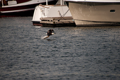 Alongside the cruise ship dock, an eagle swooped down and snagged a salmon from the harbor.