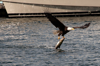 It looks as if the fish weighs as much as the eagle.