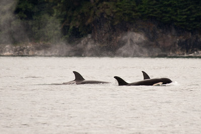 Orca killer whales.