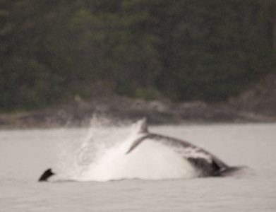 A mature whale breeched to land on the sea lion. Camera did not focus.