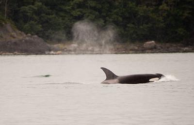 Orca killer whale.