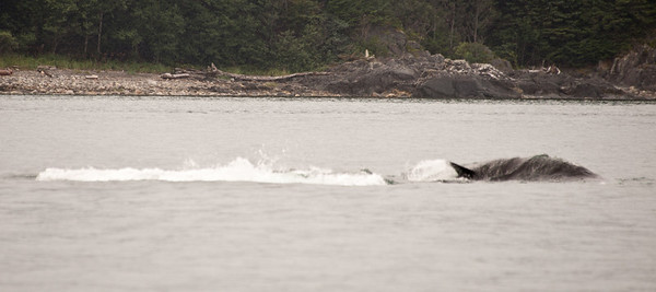 Very high speed Orca Killer Whale.