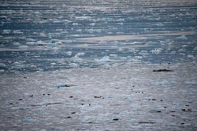 Harbor seals on the ice.