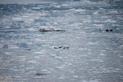The Orca killer whales do not come to the glacier so these seals have no predators.