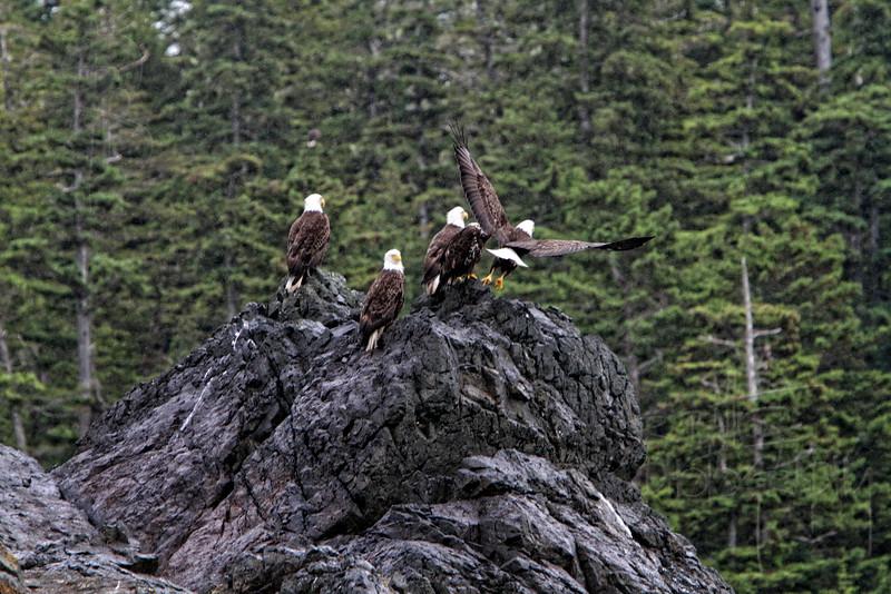 Eagles, IMG_1660