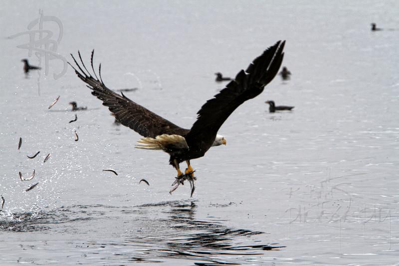 Eagle, IMG_5155