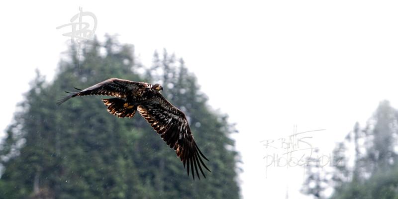 Eagle, IMG_3572