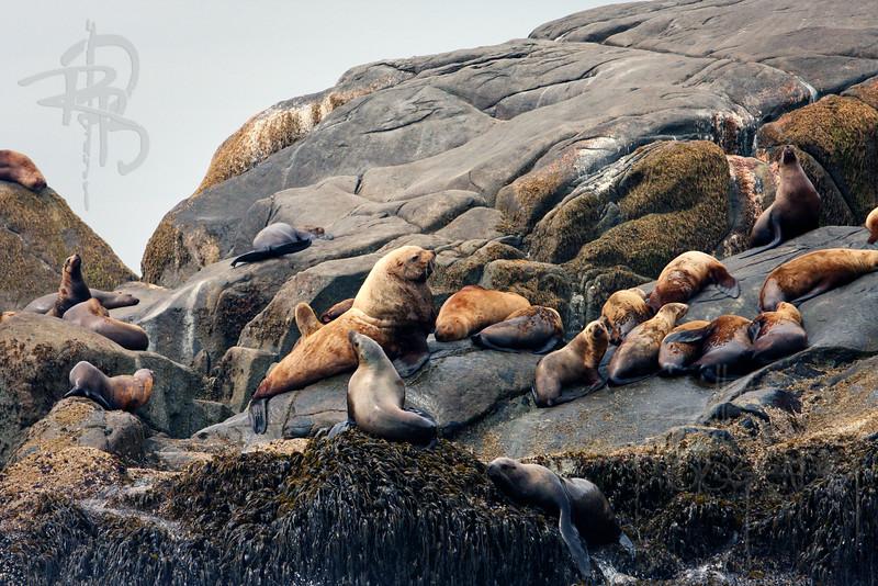 Sea Lions, IMG_9688