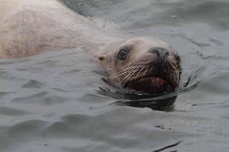Sea Lion, IMG_0712
