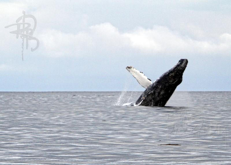 Whale, Breach, IMG_9767