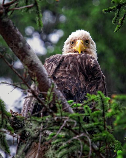 Eagle, IMG_0078