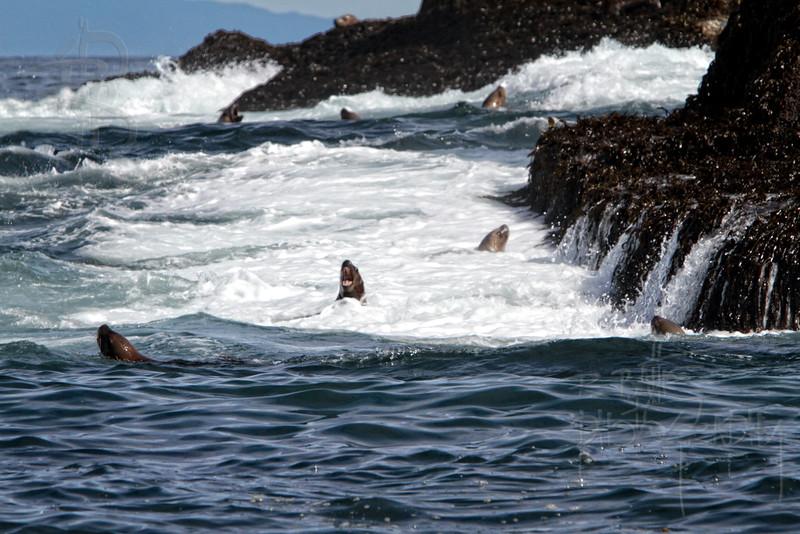 Sea Lion, Water, IMG_4285