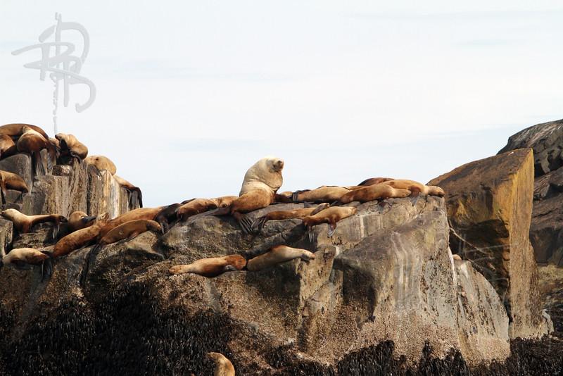 Sea Lion, IMG_9662