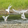 Gulls at Pack Creek, Alaska