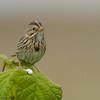 Sparrow - Pack Creek, Alaska