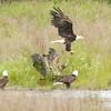 Bald Eagles waiting for salmon scraps. Pack Creek, Alaska