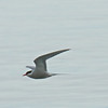 Actic Tern, South East Alaska