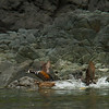 Harlequin Ducks - I always wondered where they went when they left Vancouver in spring.