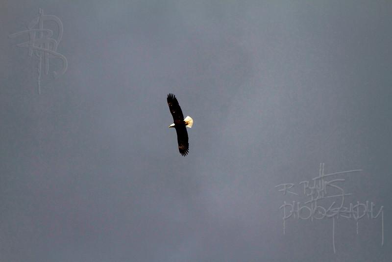 Eagle (IMG_1461)