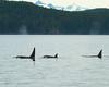 Orca Pod, Alaska