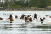 "A curious raft of Sea Lions (termed ""Raft"" when at sea, ""colony"" when on land)."