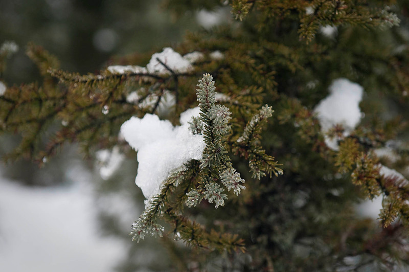 Melting snow on fir tree branch - Baxter Bog, Anchorage, Alaska December 2013