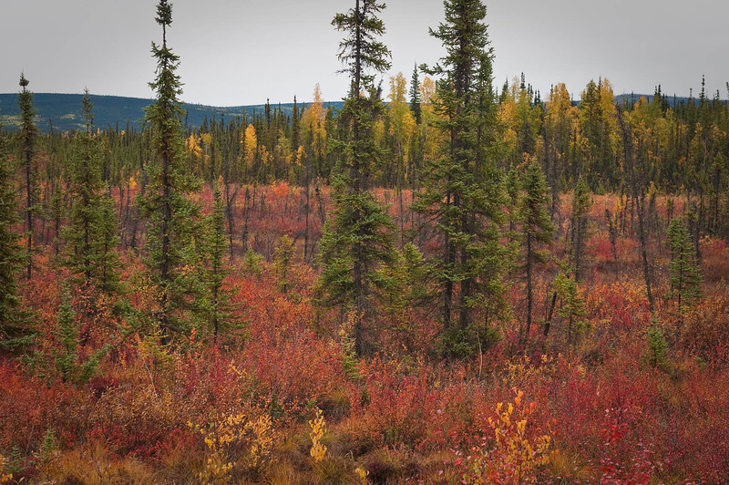 Changing colors - brilliant but brief - as winter closes in on the north country.
