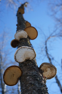 Alaska Outtakes--Birch fungus.