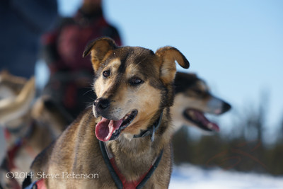 Alaska Outtakes--Sled dog 2.