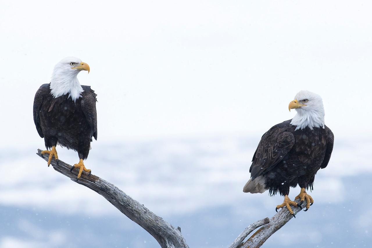 Bald Eagles Kachemak Bay, AK