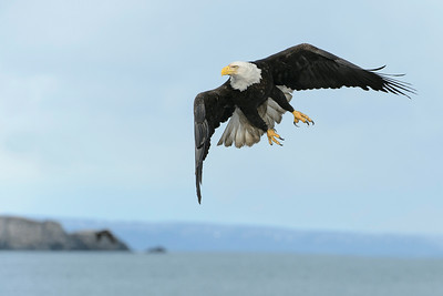 Bald Eagle Kachemak Bay, AK