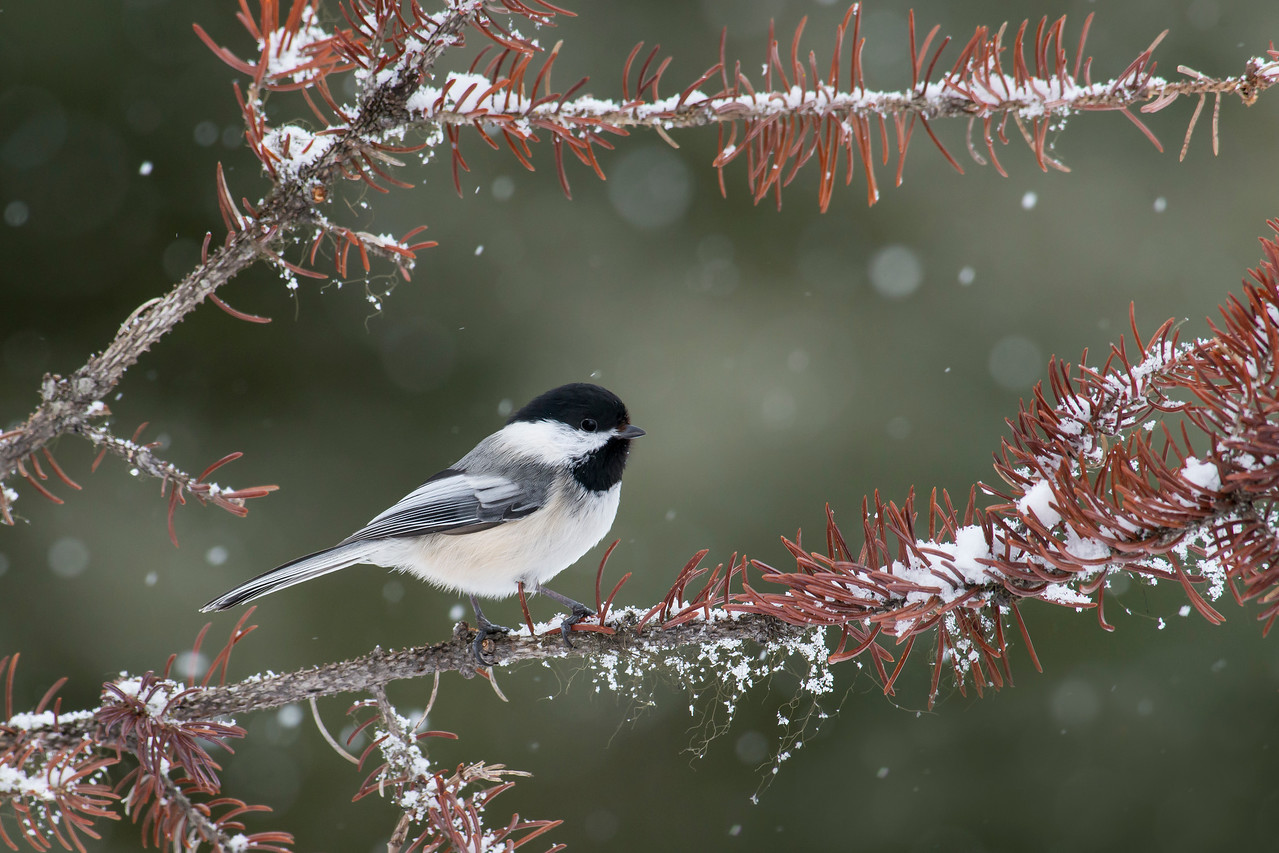 Black-capped Chickadee Anchor Point, AK