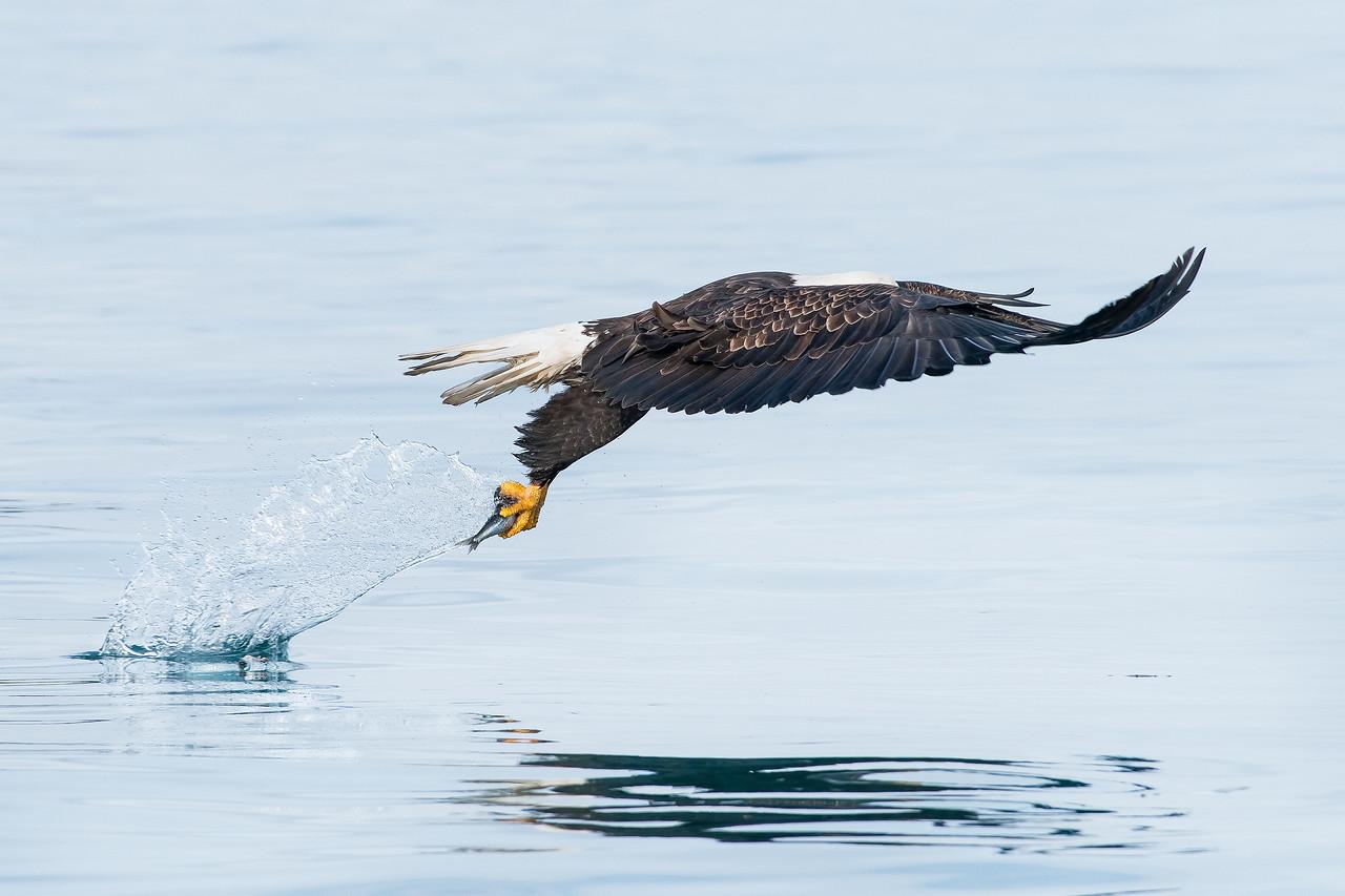 Bald Eagle Kachemak Bay, AK