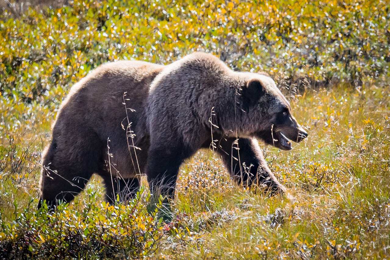 Grizzly Searching for Berries