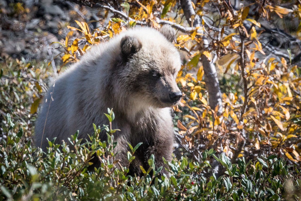 Grizzly Cub Hunting Berries