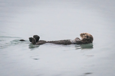 Sea Otter, Side View
